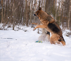Max_Lizzy (hukonaho) Tags: pet dogs germanshepherd infocus watchdogs highquality