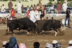 IMG_5433.jpg (Faraz Tareen) Tags: oman bullfight barka