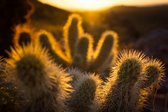 Look, but don't touch (b. ellabarger) Tags: arizona cactus sun nature beautiful cacti sunrise dark ouch early warm dof desert bokeh warmth beautifullight depthoffield serenity gilbert serene minimalism spines spikey spikes goldenhour warmlight cholla darkart gilbertaz earlyriser teddybearcholla sunnymorning beautifulearth earlymorningsun darkmysterious beautyinnature santanmountains lookbutdonttouch silkybokeh beautyallaroundme