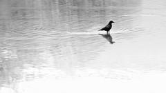 Le niveau du lac de Neuch est bien bas (prenzlauerberg) Tags: bw lake bird nature schweiz switzerland nikon suisse lac nb corneille reflet dxo oiseau yverdon 2014 lacdeneuchâtel yverdonlesbains nikoncapturenx nikon70200mmf28 nikond610