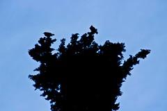 Corb / Crow (irispuag) Tags: sky naturaleza black tree bird love nature animal silhouette fauna arbol twilight flora negro bad like natura luck form crow silueta lover shape arbre mala negre comment cuervo pájaro forma crepúsculo misfortune badluck corb suerte malasuerte ocell crepuscle skylover comenta skyporn skylovers
