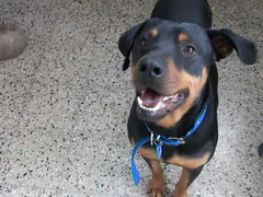 SIMON. (Hahahel & 4-legged angels) Tags: dog simon mix rott rottweiler perro rottie