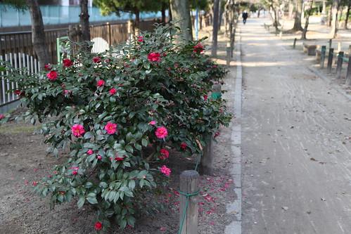 山茶花の道