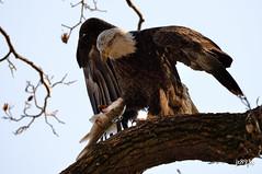 Bald Eagle (jt893x) Tags: fish bird nikon eagle baldeagle sigma raptor haliaeetusleucocephalus d800 150600mm sigma150600mmf563dgoshsms