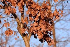 Foglie secche () Tags: winter brown leaves foglie photography photo foto photographer photos dry fotografia inverno stefano fotografo trucco secche 300f4afs zush d7100 stefanotrucco