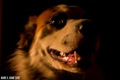 _MG_4084 (MauroAdamoSaenz) Tags: dog pet black negro perro coco fondo mascota mauro 50mm18 saenz backgroud adamo canont3