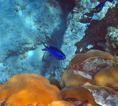 Chromis cyanea (blue chromis) (San Salvador Island, Bahamas) 2