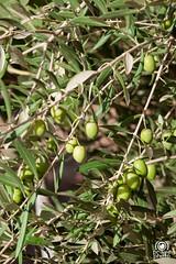 Ulivo (andrea.prave) Tags: fort olive unesco morocco maroc marocco ouarzazate cittadella ksar kasbah ulivo aitbenhaddou  atbenhaddou almamlaka    visitmorocco almaghribiyya asifounila  tourdelmarocco