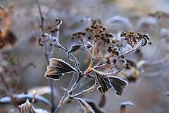 Jardin d'hiver (Mariette80) Tags: winter light macro lumire hiver givre feuillesmortes canon100mmf28l