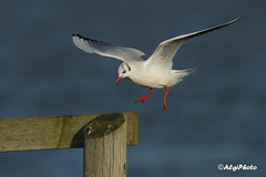 Black Headed Gull, Belfast Lough (allengillespie.photo) Tags: gulls flight blackheadedgull belfastlough