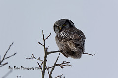 Northern Hawk Owl DSC_9580 (Ron Kube Photography) Tags: canada bird nature birds fauna nikon hawk raptor alberta owl ornithology birdofprey northernhawkowl surniaulula southernalberta d7100 distinguishedraptors ronaldok nikond7100 ronkubephotography