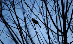 Solemn. (The light within) Tags: morning blue winter bird nature beauty silhouette nikon jay lonely migration sole tamron f28 d3 70200mm migrate