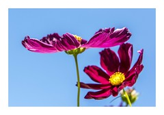 Open Up To Me (red stilletto) Tags: pink flowers blue plant flower yellow petals petal cosmos