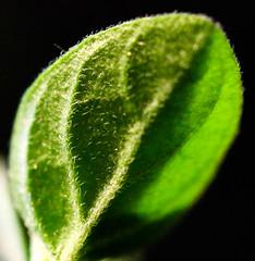 Just leafs, Macro Mondays (camillagarin) Tags: macromondays justleafs