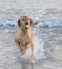 RETRIEVER DOG WITH BALL (TT  FAUGHAN) Tags: uk ireland sea dog playing beach fun sand warm waves down co splashing outdoo tyrella lecale