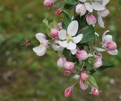 Apple blossom & bee (Madde Elg) Tags: apple bee bi sörmland äpple springflower järna äppelblom vårblommor