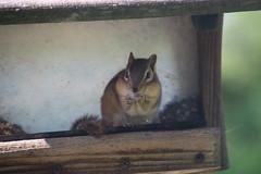 Chipmunks at the Birdfeeder (Saline, Michigan) (cseeman) Tags: cute animals furry michigan chipmunk saline birdfeeders
