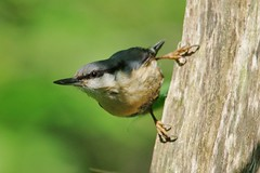 IMGP2352 Nuthatch, Lackford Lakes, May 2016 (bobchappell55) Tags: wild bird nature woodland suffolk wildlife lakes reserve trust nuthatch damp lackford