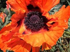 Pub garden (jonnodavies) Tags: red flower spring olympus omd em5mk2