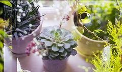 (333Bracket) Tags: plants green london film 35mm succulent doubleexposure fd50mmf18 analogue canonae1 bookeh 333bracket