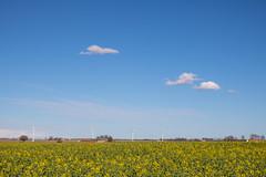 Soon a dream in yellow (Infomastern) Tags: cloud field countryside raps canola rapeseed moln sdersltt landsbygd