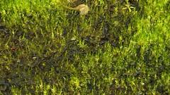 Kleines Moos, ganz gro; Schwabstedt-Hollbllhuus, Wildes Moor (27) (Chironius) Tags: germany deutschland pantano peat swamp bottoms alemania marsh grn moor bog marais allemagne germania schleswigholstein sump ogie sumpf pomie  sphagnum schwabstedt nordfriesland niemcy bryophyta tourbire sphagnaceae   turbera sphagnopsida sphagnales pomienie laubmoose marcageuse szlezwigholsztyn torfmoose sphagnophytina