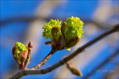 Maple Tree Flowering (Jeannot7) Tags: flowers ontario tree spring maple cobourg