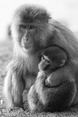 SJ7_6082 (glidergoth) Tags: zoo mono scotland snowmonkey japanesemacaque highlandwildlifepark