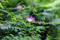 IMG_9624.jpg (Idiot frog) Tags: camping flower tree green leaves canon eos petals blossom seasonal hsinchu shutterstock 5d2 5dmk2