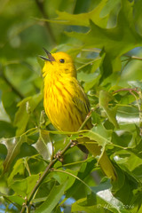 Yellow warbler singing - Glenhurst Meadows, NJ (yinongjiang) Tags: us newjersey unitedstates warren