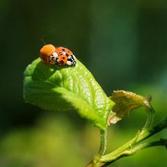 spring fever (Rainer ) Tags: nature 35mm spring natur ladybug frhling marienkfer springfever coccinella unsergarten aprikosenbaum rainer