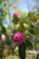 040516 070 (Jusotil_1943) Tags: flowers flores desenfoque 040516 rododendros selectivo