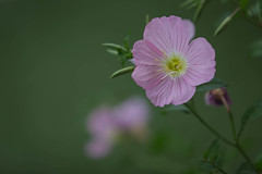 Flower (Rudaki1959 thanks for looking) Tags: pink flowers nature closeup garden colorful natural natur greece salamina