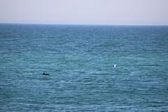 IMG_0776 (daniela.eggers) Tags: denmark watching whale dnemark danmark wal knebel ebeltoft helgenaes