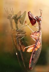 Young Mantis (pcsnowman) Tags: closeup mantis