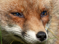 Fox (Peanut1371) Tags: red brown white mammal eyes tail fox nationalgeographicwildlife