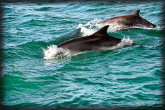 New friends (zebrazoma) Tags: sea mer water sailing dauphin navigation dolfin chausey