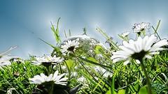 Glaskugel 01 cut light glow wm (Renate:) Tags: sky lawn himmel gras daisys crystalball gnseblmchen glaskugel