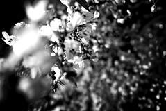 'Money Tree III'   ...chc mng nm mi 2016 (MABworks) Tags: california blackandwhite macro tree losangeles vietnamese bokeh chinese chinesenewyear vietnam celebration festivities celebrate bnw lunarcalendar blackandwhitephotography lunaryear vietnamesenewyear moneytree macrophotography sangabrielvalley macrophotos blackandwhitephotos macroshots chucmungnammoi macropics blacknwhitephotography bokehlicious photographylover bokehshots bnwphotography blacknwhitepics bnwphotos bokehphotography blacknwhiteshots beyondbokeh bokehphotos bnwpics bnwshots bokehpics