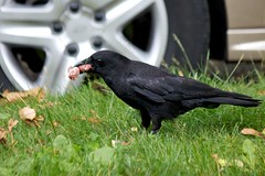 Feast Time (Stirrett6) Tags: bird crow corvid perching
