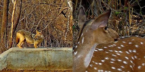 Jumpy Jackal or Chary Chital :-S Wildlife . Yěshēng Dòngwù . Fauna Silvestre . वन्यजीव . Animais Selvagens