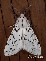 # 8140 – Hyphantria cunea – Fall Webworm Moth (Wildreturn) Tags: missouri moth mo mothsofmissouri mothsofmissourifieldguide mmfg moths lepidoptera usa columbia boonecounty insects insecta insect hodges8140 8140 hyphantria hyphantriacunea fallwebwormmoth noctuoidea owletmoths erebidae