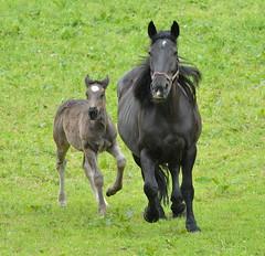 DSC_4491 (d90-fan) Tags: horse animal outdoors austria sterreich nationalpark natur pferde pferd nationalparc rauris fohlen hohetauern httwinkltal