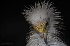 Schmutzgeier / egyptian vulture / Neophron percnopterus (AchimSchmidt) Tags: bird egyptian vulture birdofprey vogel geier neophron percnopterus greifvogel schmutzgeier