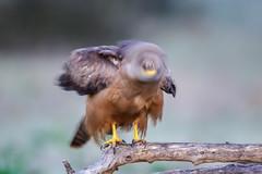 Remolino (chuscordeiro) Tags: espaa naturaleza bird animal fauna canon milano negro sigma movimiento ave 7d pluma prey pajaro milvus posadero 150600 torilejo