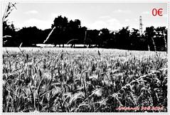 Variations sur les bls 07 (voyageursdumonde1) Tags: nature fleurs bl crales salaisesursanne france2016