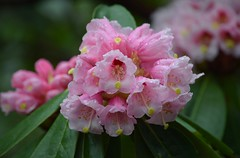 Rhododendron (careth@2012) Tags: nature droplets petals nikon rhododendron waterdroplets 55300mm nikond3300 d3300