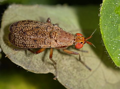 Marsh Fly (cotinis) Tags: insect fly northcarolina piedmont diptera eol marshfly sciomyzidae euthycera sigma150mmexdgf28macro fridayflyday euthyceraarcuata taxonomy:binomial=euthyceraarcuata