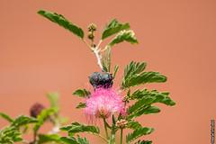Palestine sunbird On Pink Flower (barak.shacked) Tags: bird nature sunbird tinybird smallbird  palestinesunbird  cinnyrisosea israelibird  birdonaflower
