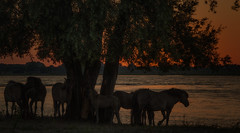 Sunset (henriton) Tags: horses horse herd paard paarden suntset konik schouwendijk